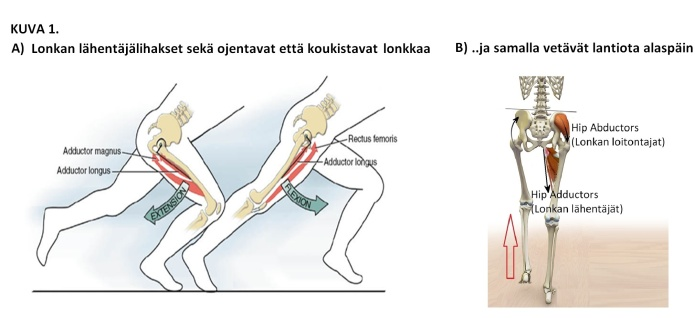 KUVA 1 Hip abd-adductors